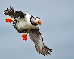 "Puffin Flyby (coopsphotomad) Tags: puffin ""sea bird"" sea bird nature wildlife animal flight beak feet orange fly cliffs british canon 1dx"