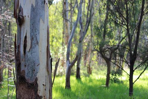 Trees on Bolin Bolin Trail, Bulleen