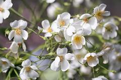 dog rose (Francis Mansell) Tags: rose flower plant dogrose kewgardens kew royalbotanicgardenskew garden bud flowerbud stamen macro dof depthoffield