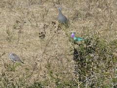 P1150909 Zimbabwe (40) (archaeologist_d) Tags: zimbabwe stanleylivingstonesafarilodge lilacbreastedroller africa southernafrica safari
