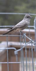 Phoebe mom watching me (JoelDeluxe) Tags: phoebe chick fledgling flycatcher newmexico southvalley animal bird joeldeluxe