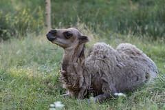 Yalla (Sinkha63) Tags: chameaudebactriane bactriancamel camelcalf camel chameau chamelon beynat nouvelleaquitaine france fra