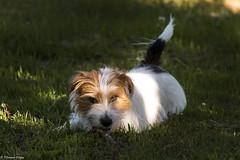 Sara. Cunning as a twilight fox. 27/52 (Tõnno Paju) Tags: sara 52weeksfordogs dog animal pet twilight sunshine grass jack russel terrier outside