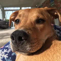 Rocco (prizemania) Tags: dog doggo whiskers rescue boop pup snout mix pet animal cute