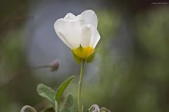 White flame (oskaybatur) Tags: flower wildflower2017 may spring türkiye turkey turkei pentaxkr justpentax pentaxart smcpentaxdal55300mmf458ed dof bokeh kastro çamlıköy