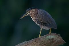 Green heron (Phiddy1) Tags: birds canada greenheron heron ontario toronto