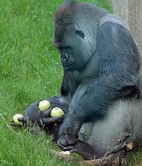 Bokito Blijdorp JN6A9058 (joankok) Tags: gorilla bokito blijdorp westelijkelaaglandgorilla westernlowlandgorilla laaglandgorilla lowlandgorilla aap ape monkey mensaap africa afrika zoogdier dier animal zilverrug silverback