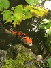Curious carp (Galaxy-M31) Tags: fish carps konchiintemplegardenkyoto