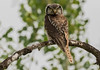 Northern Hawk-Owl (Surnia ulula) - BC (bcbirdergirl) Tags: diurnal bc adult boreal northernhawkowl owl hawkowl surniaulula hoveringhawkowl hoveringhunter themtheireyes hoverer elusive uncommon 360headturn