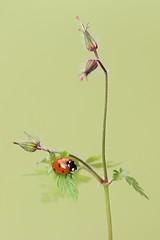 Lady bird 🐞 (bilska.anna) Tags: ladybird macro canon