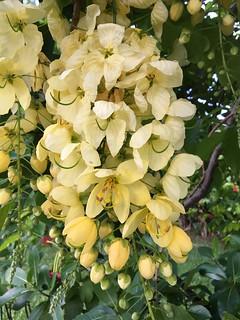 Cassia x nealiae 8