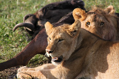 Safari (imanolg) Tags: ñu lion masaimara safari kenia africa