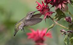 Anna's Hummingbird Feeding on Bee Balm (Eric_Z) Tags: annashummingbird hummingbird bee balm beebalm coquitlam britishcolumbia canada canoneos7dmkii ef100400mmf4556lisiiusm