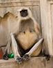 Too Many Fries and Sodas, Indian Langur Monkey, Galta Kund temple in Galtja Indiai (JJ Doro - Bangkok) Tags: galtakund holy hindu indian rajasthan sacred galta sandstone bathing history hinduism shivmandir jaipur india temple cow