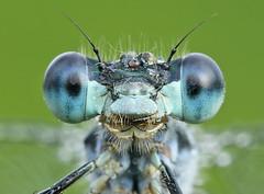 Male Emerald damselfly (Roger H3) Tags: insect odonata damselfly emerald