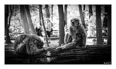 Montagne des Singes (Martial F.) Tags: montagnedessinges montagne singe mountain monkey kintzheim alsace elsass noiretblanc blackandwhite monochrome