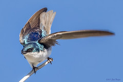 Tree Swallow (Tachycineta bicolor) at Schwabacher Landing, Grand Teton National Park (Jim Frazee) Tags: treeswallow tachycinetabicolor schwabacherlanding grandtetonnationalpark