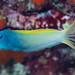 Yellowtail Fangblenny - Meiacanthus atrodorsalis