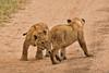 Lions of Maasai Kopjes 434 (Grete Howard) Tags: bestsafarioperator bestsafaricompany africa africansafari africanbush africananimals whichsafaricompany whichsafarioperator tanzania serengeti animals animalsofafrica animalphotos lions lioncubs maasaikopjes kopjes kopje