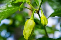 Brown Bhutlah (stankar) Tags: chilli peppers hot superhot indoor chili brown bhutlah