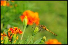 DSC_2219 - 07-08-2- Orthetrum coerulescens femmina (r.zap) Tags: orthetrumcoerulescensfemmina libellule rzap parcodelticino