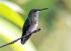 IMG_1828 White-necked Jacobin (female) (suebmtl) Tags: bird birding mindo milpe mindocloudforestreserve hummingbird pichinchaprovince ecuador whiteneckedjacobin florisugamellivora