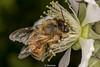 HoneyBee-0008.jpg (vorneo) Tags: classinsecta honeybee wild europeanhoneybee orderhymenoptera familyapidae phylumarthropoda kingdomanimalia westernhoneybee bee speciesamellifera binomialnameapismellifera genusapis
