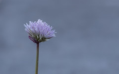 Less is More (stacypelzl) Tags: simplicity smileonsaturday lessismore minimalism flower