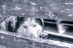 Behaind blue eyes.... (mmalinov116) Tags: blu eyes bw monochrome dog animal хъски siberian husky siberianhusky sibe friend