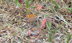 Small Copper  (1) and as you can see not much green left on the camping Meadow (John Carson Essex UK) Tags: thegalaxy thegalaxystars rainbowofnature supersix