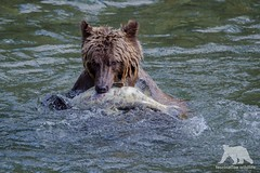 Grizzly & Salmon (fascinationwildlife) Tags: animal mammal wild wildlife nature natur fall autumn water river salmon fish catch british brown bear grizzly bär predator kanada canada bc columbia young bute inlet