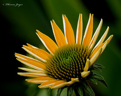 Just So 0712 Copyrighted (Tjerger) Tags: nature bloom blooming closeup cone coneflower flora floral flower green macro opening plant single summer white wisconsin yellow natural