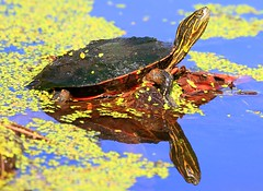 western painted turtle at Cardinal Marsh IA 854A8879 (lreis_naturalist) Tags: western painted turtle cardinal marsh winneshiek county iowa larry reis
