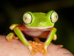 Tree frog, Agalychnis hulli (Ecuador Megadiverso) Tags: agalychnishulli amazon amphibian andreaskay anura ecuador frog hylidae hylomantishulli puyo rainforest reservaecologicatamandua treefrog