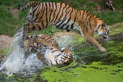 verrückte Wasserspiele (Mel.Rick) Tags: natur tiger siberiantiger sibirischertiger amurtiger raubtiere raubkatzen groskatzen zooduisburg tiere säugetiere dasha arila pantheratigrisaltaica
