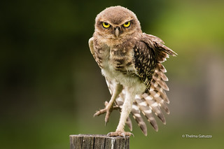 Little Young Owl