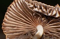 Mushroom changes Airlie Beach rainforest rotting log P1000495 (Steve & Alison1) Tags: pleated parasole inkcap mushroom galerella sp psathyrellaceae airlie beach rainforest