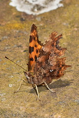 Comma Butterfly (superdove) Tags: coma butterfly polygoniacalbum 105mmf28gvrmicro