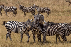 Friends again! (Ring a Ding Ding) Tags: africa apoka canon5dmk111 equusquaggaburchellii kidepo uganda herd nature plainszebra safari wildlife dodoth northernregion coth sunrays5 ngc