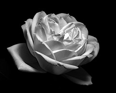 Rose in Black and White 0714 (Tjerger) Tags: nature beautiful beauty black bloom blooming closeup flora floral flower macro petals plant rose single spring white wisconsin yellow natural