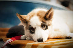 (Armine Abrahamyan) Tags: dog hund tier tiere animal animals siberian husky nikon natur nikor nikkor nikond300 nikond300s explore sweet beautiful amazing cute photographie photography photograph picture portrait pet pets friend face lonely eyes eye sad haustier собака хаски