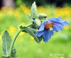 REFORD GARDENS   |      EMBLEM  |   |     BLUE POPPY   |  PAVOT BLEU          |     REFORD GARDENS  |      LES JARDINS DE METIS  |  METIS   |  GASPESIE  |  QUEBEC  |  CANADA (J P Gosselin) Tags: reford gardens | emblem blue poppy pavot bleu les jardins de metis gaspesie quebec canada canon7dmarkii canon 7dmarkii 7d markii mark ii canoneosrebelt2i canoneos7d canon7d eos7d canoneos eos rebel t2i ph:camera=canon flower 🌺 flowers explore flickr