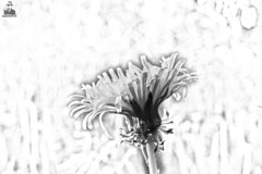 Dandelion. (hujanen53) Tags: lappeenranta suomi finland skandinavia scandinavia dandelion voikukka kukka flower flowers kevät spring kesä summer canon canoneos700d canonef35mmf20 mustavalko mustavalkoinen blackandwhite bw skecthing sketch photoshop photoshopped digitalart digitalarts luonto nature