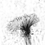 Dandelion. thumbnail