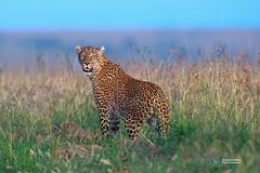 Leopad (Vinaya Mohan) Tags: leopard masaimara kenya wild animal bigcat nature