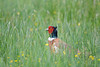 Pheasant (Shane Jones) Tags: pheasant bird wildfowl nature wildlife nikon d500 200400vr