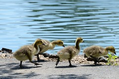 (Linda Petrich) Tags: canadian geese goslings swimming lesson water pond wildlife waterfowl fuzzy