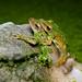 Polypedates megacephalus (mating), Spot-legged tree frog - Khao Nang Phanthurat