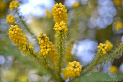 The Yellow Fairy (roanfourie) Tags: yellow flowers flower nikon d3100 nikkor 35mm bokeh flora floral