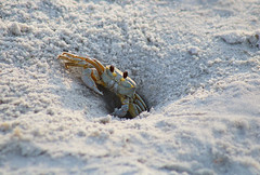 Crabulous!! (die Augen) Tags: crab sand canon ls1 beach ocypode quadrata ghost